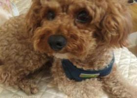 寻狗启示,22号丢失浅棕色泰迪一只,它是一只非常可爱的宠物狗狗,希望它早日回家,不要变成流浪狗。