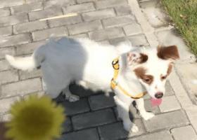 寻狗启示,上海市奉贤区柘林镇如意家园附近丢失一只白色狗子,它是一只非常可爱的宠物狗狗,希望它早日回家,不要变成流浪狗。