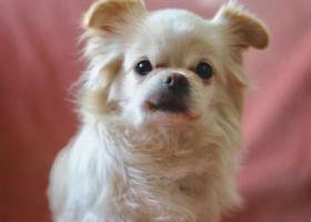 寻狗启示,上海虹口寻狗在凉城路安汾路附近走失,它是一只非常可爱的宠物狗狗,希望它早日回家,不要变成流浪狗。