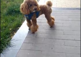 寻狗启示,寻狗启示(赶紧回家吧),它是一只非常可爱的宠物狗狗,希望它早日回家,不要变成流浪狗。