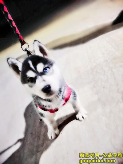 菏泽找狗,哈士奇篇,名字叫仔仔,4个月大,它是一只非常可爱的宠物狗狗,希望它早日回家,不要变成流浪狗。