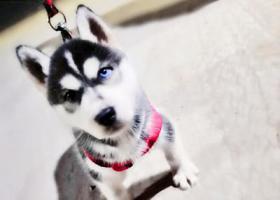 寻狗启示,哈士奇篇,名字叫仔仔,4个月大,它是一只非常可爱的宠物狗狗,希望它早日回家,不要变成流浪狗。
