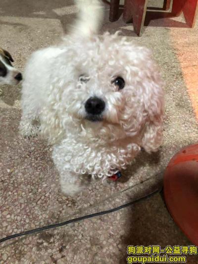 苏州捡到狗,苏州新区珠江路上捡到一只母的比熊,找主人了,它是一只非常可爱的宠物狗狗,希望它早日回家,不要变成流浪狗。