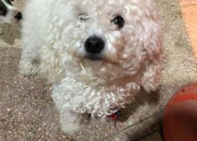 寻狗启示,苏州新区珠江路上捡到一只母的比熊,找主人了,它是一只非常可爱的宠物狗狗,希望它早日回家,不要变成流浪狗。