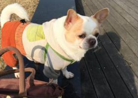 寻狗启示,丢失,一只白色的吉娃娃。,它是一只非常可爱的宠物狗狗,希望它早日回家,不要变成流浪狗。