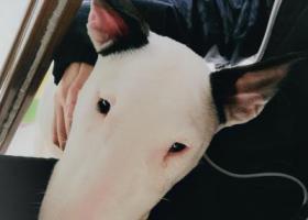 寻狗启示,寻找  双耳黑白色牛头梗,它是一只非常可爱的宠物狗狗,希望它早日回家,不要变成流浪狗。