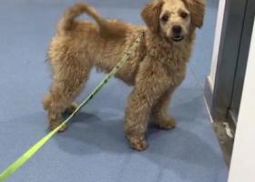 寻狗启示,南京市雨花区西善花苑捡到一只迷你型泰迪,它是一只非常可爱的宠物狗狗,希望它早日回家,不要变成流浪狗。