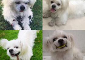 12月20日,于东莞横沥西区垃圾焚烧站附近丢失一只白色京巴母狗
