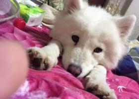 寻狗启示,重金寻找萨摩耶,必有重谢,它是一只非常可爱的宠物狗狗,希望它早日回家,不要变成流浪狗。