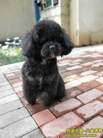 ,黑色泰迪丢失,望好心人帮帮我,它是一只非常可爱的宠物狗狗,希望它早日回家,不要变成流浪狗。