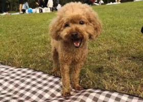 寻狗启示,温岭 锦园小区公园酬谢一万元寻找八岁泰迪,它是一只非常可爱的宠物狗狗,希望它早日回家,不要变成流浪狗。