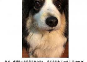 寻狗启示,天通苑南区走失!!!黑白相间的柯基犬13261975680,它是一只非常可爱的宠物狗狗,希望它早日回家,不要变成流浪狗。