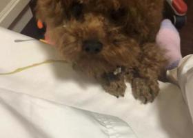 寻狗启示,上海宝山区纲领园区酬谢一万元寻找泰迪,它是一只非常可爱的宠物狗狗,希望它早日回家,不要变成流浪狗。