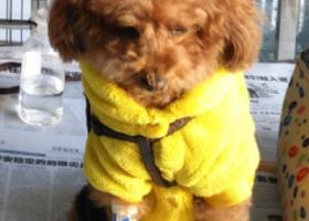 寻狗启示,寻找棕色泰迪,穿黄衣红鞋,12月27日傍晚在364医院附近走失,拾还重酬!,它是一只非常可爱的宠物狗狗,希望它早日回家,不要变成流浪狗。