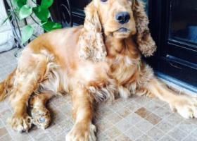 寻狗启示,中豪国际星城走丢可卡犬8岁了母狗,叫米拉,望好心人帮帮忙,它是一只非常可爱的宠物狗狗,希望它早日回家,不要变成流浪狗。