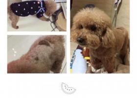 寻狗启示,寻泰迪// 重庆渝中九龙坡,它是一只非常可爱的宠物狗狗,希望它早日回家,不要变成流浪狗。