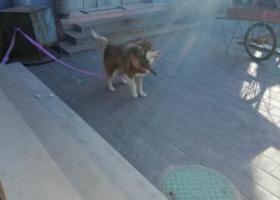 寻狗启示,一只阿拉斯加,寻狗主人,它是一只非常可爱的宠物狗狗,希望它早日回家,不要变成流浪狗。
