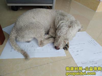 ,沙溪圣狮,有一白色卷毛犬,它是一只非常可爱的宠物狗狗,希望它早日回家,不要变成流浪狗。