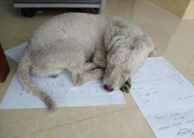 寻狗启示,沙溪圣狮,有一白色卷毛犬,它是一只非常可爱的宠物狗狗,希望它早日回家,不要变成流浪狗。