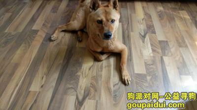 承德寻狗启示,承德平泉找狗,柴犬串,舌头偏紫色,名字叫麦奇,好心人帮忙转发,它是一只非常可爱的宠物狗狗,希望它早日回家,不要变成流浪狗。