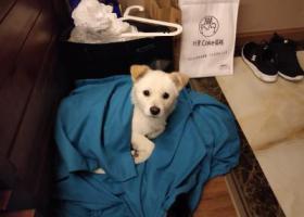 寻狗启示,12月27日在成华区万年场地铁站口捡到狗狗一只,希望帮它寻回主人,它是一只非常可爱的宠物狗狗,希望它早日回家,不要变成流浪狗。