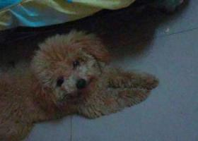寻狗启示,龙华大浪捡到公狗泰迪,它是一只非常可爱的宠物狗狗,希望它早日回家,不要变成流浪狗。