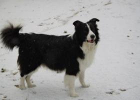 寻狗启示,2018年12月23日晚朝阳区马泉营走失10岁龄边牧一只,它是一只非常可爱的宠物狗狗,希望它早日回家,不要变成流浪狗。