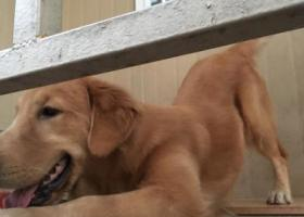 寻狗启示,2018.12.29一只金色大中型金毛走丢  求找回,它是一只非常可爱的宠物狗狗,希望它早日回家,不要变成流浪狗。