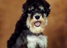 寻狗启示,寻找一直雪纳瑞 温州景山脚下走丢,它是一只非常可爱的宠物狗狗,希望它早日回家,不要变成流浪狗。