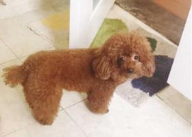 寻狗启示,新北区南博湾花园母泰迪走失,它是一只非常可爱的宠物狗狗,希望它早日回家,不要变成流浪狗。