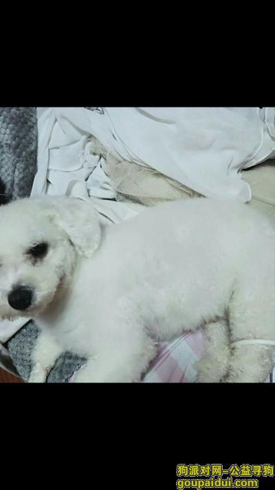 【宿州找狗】,我朋友的比熊养了一年感情很深,它是一只非常可爱的宠物狗狗,希望它早日回家,不要变成流浪狗。