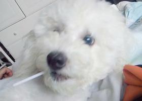 寻狗启示,临沂兰山区天元名筑丢失一只比熊,它是一只非常可爱的宠物狗狗,希望它早日回家,不要变成流浪狗。