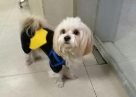 寻狗启示,蜀山区家家景园附近捡到狗狗,它是一只非常可爱的宠物狗狗,希望它早日回家,不要变成流浪狗。
