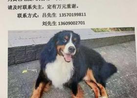 寻狗启示,寻找养育多年的呆萌爱犬!,它是一只非常可爱的宠物狗狗,希望它早日回家,不要变成流浪狗。