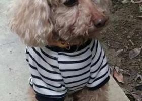 寻狗启示,成都川音本部捡到泰迪弟弟,它是一只非常可爱的宠物狗狗,希望它早日回家,不要变成流浪狗。