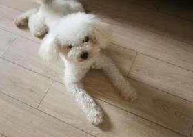 寻狗启示,18年10月末于滁州学院附近丢失了比熊,它是一只非常可爱的宠物狗狗,希望它早日回家,不要变成流浪狗。