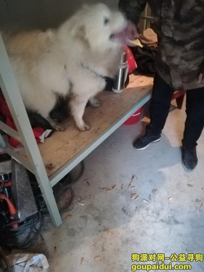 周口捡到狗,吉鸿昌纪念馆附近捡到一只萨摩耶,它是一只非常可爱的宠物狗狗,希望它早日回家,不要变成流浪狗。