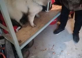 寻狗启示,吉鸿昌纪念馆附近捡到一只萨摩耶,它是一只非常可爱的宠物狗狗,希望它早日回家,不要变成流浪狗。