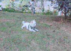 寻狗启示,白色博美串在龙洲花园附近丢失.望好心人看见能联系,它是一只非常可爱的宠物狗狗,希望它早日回家,不要变成流浪狗。
