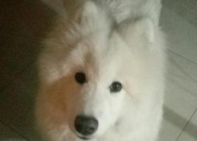 寻狗启示,寻找爱犬,白色萨摩耶,和主人有深厚感情,希望能尽快找到狗狗。,它是一只非常可爱的宠物狗狗,希望它早日回家,不要变成流浪狗。