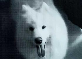 寻狗启示,爱狗萨摩耶走失,重金寻找,酬谢1000元。,它是一只非常可爱的宠物狗狗,希望它早日回家,不要变成流浪狗。