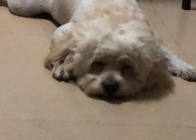 寻狗启示,爱狗丢失金毛泰迪杂交狗,它是一只非常可爱的宠物狗狗,希望它早日回家,不要变成流浪狗。