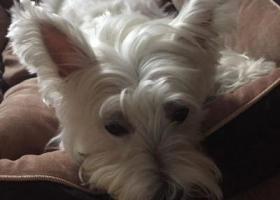 寻狗启示,宿州埇桥区33处家属区酬谢五千元寻找西高地犬,它是一只非常可爱的宠物狗狗,希望它早日回家,不要变成流浪狗。
