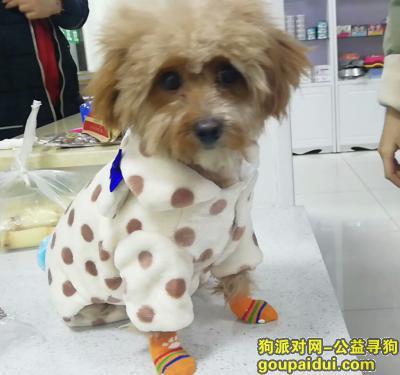 徐州寻狗主人,超级可爱咖啡色泰迪犬!寻找爱心人士领养,它是一只非常可爱的宠物狗狗,希望它早日回家,不要变成流浪狗。