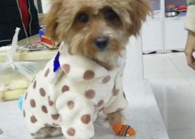 寻狗启示,超级可爱咖啡色泰迪犬!寻找爱心人士领养,它是一只非常可爱的宠物狗狗,希望它早日回家,不要变成流浪狗。