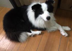 寻狗启示,浦东新区孙桥附近捡到一只边牧,它是一只非常可爱的宠物狗狗,希望它早日回家,不要变成流浪狗。