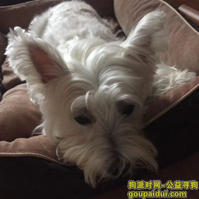 宿州找狗,宿州 埇桥区33处家属区酬谢五千元寻找西高地,它是一只非常可爱的宠物狗狗,希望它早日回家,不要变成流浪狗。