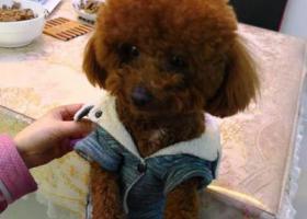 寻狗启示,上海宝山区东方国贸丢失褐色小泰迪 重金酬谢,它是一只非常可爱的宠物狗狗,希望它早日回家,不要变成流浪狗。
