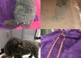 寻狗启示,(泰迪公狗)2019年1月7日下午在高新区昌源北路与科新路交汇口捡到灰色泰迪,它是一只非常可爱的宠物狗狗,希望它早日回家,不要变成流浪狗。