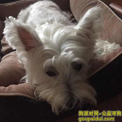 宿州寻狗网,宿州埇桥区酬谢五千元寻找西高地,它是一只非常可爱的宠物狗狗,希望它早日回家,不要变成流浪狗。